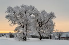 Two white, snow-covered trees on a frosty evening outside the city Stock Images