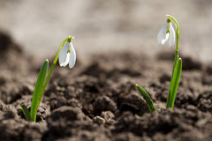Two white snowdrop flowers Royalty Free Stock Images