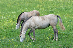 Two white Spanish Andalucian horses standing in a field stock image