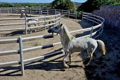 Two white stallion horses. In a rot Stock Photo
