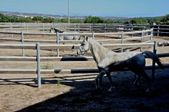 Two white stallion horses trotting Stock Photography