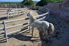 Two white stallion horses. Watching each other in a rot Stock Images