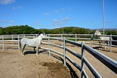 Two white stallion horses stock photo