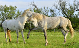 Two white stallions playing Stock Image