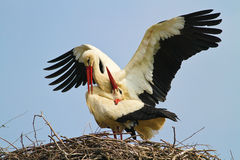 Two white stork Ciconia ciconia is mating Stock Images