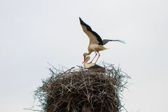 Two white stork Ciconia ciconia is mating in the nest.  Royalty Free Stock Photography