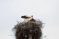 Two white stork Ciconia ciconia is mating in the nest.  Royalty Free Stock Image