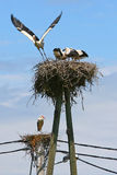 Two white stork nests Stock Images