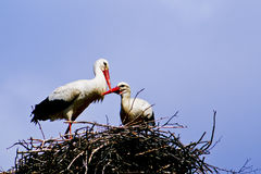 Two white stork with red beak and black wings sitting in its nest Royalty Free Stock Photography