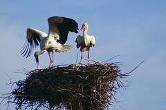 Two white stork with red beak and black wings sitting in its nest Stock Photography