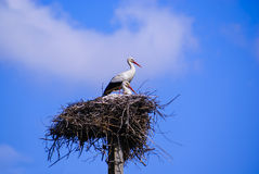 Two white stork with red beak and black wings sitting in its nest Royalty Free Stock Image