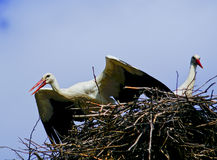 Two white stork with red beak and black wings sitting in the nest Royalty Free Stock Photos