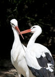 Two White Storks Stock Photo