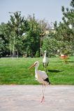 Two white storks Stock Images