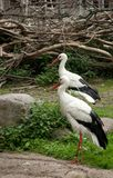 Two White Storks. Lovely couple of White Storks Stock Image