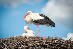 Two white storks ( ciconia ciconia ) standingin a. Nest stock photos