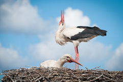 Two white storks ( ciconia ciconia ) standingin a Royalty Free Stock Photography