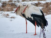 Two White Storks look similiar on snow covered ground stock images