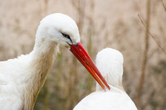 Two white Storks in love Royalty Free Stock Photography
