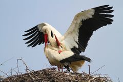 Two white storks in the nest Stock Photos