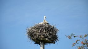 Two white storks in a nest against the blue sky on a summer sunny day stock video