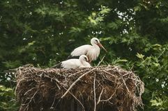 Two white storks in nest stock images