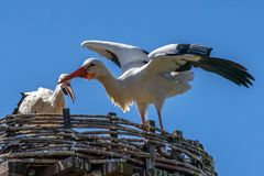 Two White storks, scientific name Ciconia ciconia, with a red beak and red legs stand in their big nest in spring. Animal royalty free stock photos