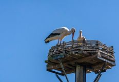 Two White storks, scientific name Ciconia ciconia, with a red beak and red legs stand in their big nest in spring. Animal royalty free stock image