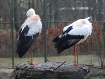Two White Storks Royalty Free Stock Photo