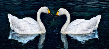 Two white swan Stock Photo