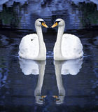 Two white swan Royalty Free Stock Photos