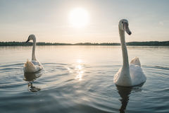Two white swan birds on the lake at sunset Stock Photo