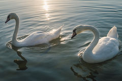 Two white swan birds on the lake at sunset Royalty Free Stock Images