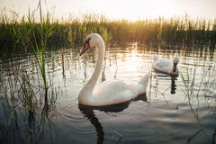 Two white swan birds on the lake at sunset Stock Image