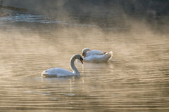 Two white swan cleaning body on foggy reservoir Royalty Free Stock Photography