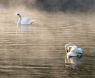 Two white swan cleaning body Stock Photo