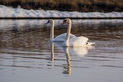 Two White Swan floating in the water, lake royalty free stock photo