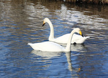 Two white swan Stock Image