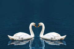 Two white swan. In love forming Stock Photo