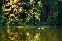 Two white swan swimming in the wild Royalty Free Stock Image