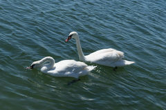 Two white swan swims on blue seawater. swan family swimming Stock Photography