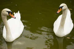 Two white swans. On the surface of the lake Royalty Free Stock Photo