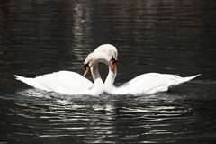 Two white swans royalty free stock image