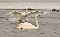 Two white swans Royalty Free Stock Images