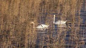 Two white swans in autumn reeds on lake. Water stock footage