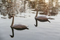 Two white swans in autumn water stock photo