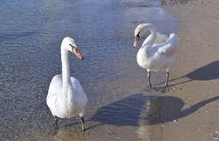 Two white swans Stock Photos