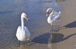 Two white swans stock photos