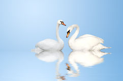 Two swans. Two white swans on blue background Stock Photos