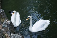 Two white swans close-up depicted on the pond near the rocky shore. The background of the image is black. Copy space.  stock photo